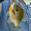 Giant Sunfish — Stock Photo #12537310
