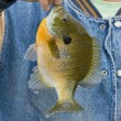 Giant Sunfish — Stock Photo