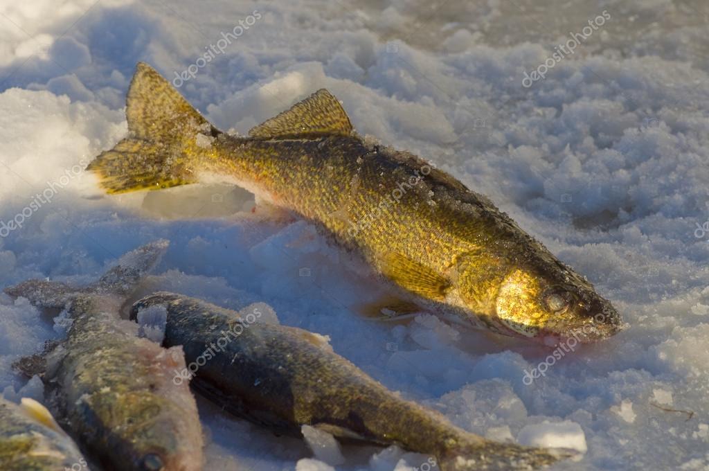 Minnesota walleyes stock photo schlag 12537305 for Mn ice fishing regulations