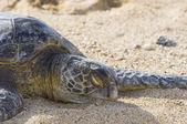 Sleeping Turtle — Stock Photo