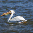 Stock Photo: Pelican