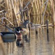 Wood Duck Pair — Stock Photo