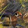 Sneaking Wood Duck — Stock Photo