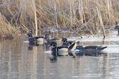 Wood Ducks — Stock Photo