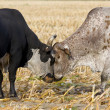 Stock Photo: Bulls Fighting
