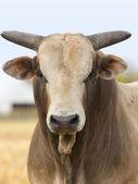 Znaczy byka — Zdjęcie stockowe