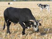 Large Mean Bull — Stock fotografie