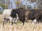 Toros peleando — Foto de Stock