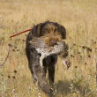 Stock Photo: Hunting Dog with Grouse