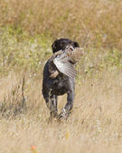 Hunting Dog Retrieving a Bird — Stock Photo