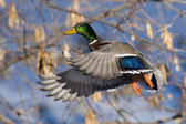 Mallard Drake in flight — Stock Photo