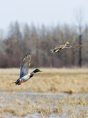 Flying Mallards — Stock Photo