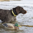 Dog and Decoy — Stock Photo