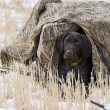 Hunting Dog in blind — Foto Stock #14795067