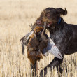 Stock Photo: Pheasant Hunting