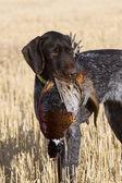 Hunting dog — Stock Photo