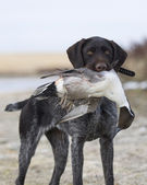 Drake Pintail — Stock Photo