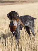 Dog and a pheasant — Stock Photo