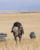 Bird Dog with a Duck — Stock Photo