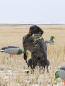 Hunting Dog and a duck — Stock Photo