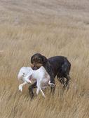 兔狩猎 — 图库照片