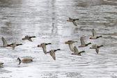 Mallard Flock — Stock Photo