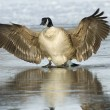 Goose on ice — Stock Photo #15706493
