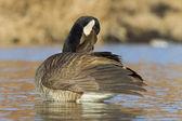 Preening Goose — Stock Photo