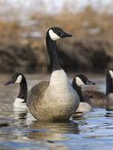 Goose Standing in water — Stock Photo