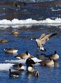 Landing Goose — Stock Photo