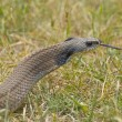 Snake in the Grass — Stock Photo