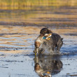 Hunting Dog in the water — Stock Photo #17374485