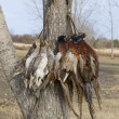 Stock Photo: Pheasants and Grouse