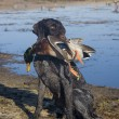 Dog and Mallard — Stock Photo #17374773