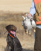 Grouse Hunting — Stock Photo