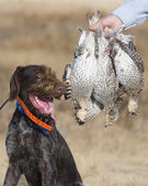Hunting Dog and Grouse — Stock Photo
