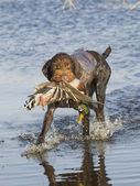 Duck Hunting — Stockfoto
