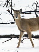 Whitetail Deer in Winter — Stock Photo
