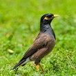 Myna Bird - Foto Stock