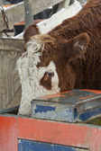 Hereford Beef Cattle — Stock Photo