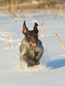 Running Dog in the snow — Stock Photo