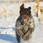 Постер, плакат: Dog running in the snow