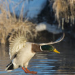 Mallards landing on a small pond — Stock Photo #23171944