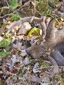 Caccia al cervo — Foto Stock