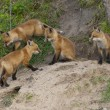 Stock Photo: Red Fox Den