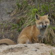 Stock Photo: Fox at his den