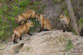 Red Fox Den — Stockfoto