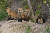 Onların den Kızıl Tilki kitleri — Stok fotoğraf