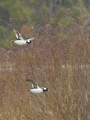 Flying Bufflehead Ducks — Stock Photo