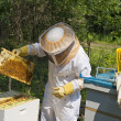 Beekeeper inspecting her beehives — Stock Photo